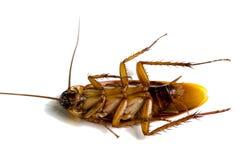 Una muerte de la vuelta de la cucaracha cara arriba en el fondo blanco Foto de archivo