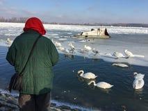 Una mujer amistosa que alimenta cisnes hambrientos en un río Danubio congelado Fotografía de archivo