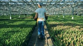 Una mujer camina en un invernadero por completo de los tulipanes, industria de la agronomía almacen de metraje de vídeo