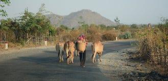 Una mujer con sus vacas en el camino del campo Fotografía de archivo