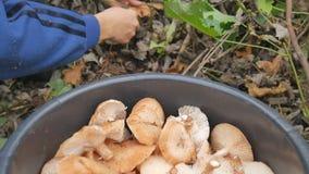 Una mujer corta con las setas de un cuchillo en el bosque del otoño y pone el cubo Mujer que busca setas en otoñal almacen de video