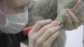 Una mujer en groomer profesional de la ropa del special esquila las lanas del terrier de Yorkshire en las patas con las tijeras P almacen de metraje de vídeo