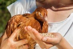 Una mujer está alimentando un pollo Imagen de archivo