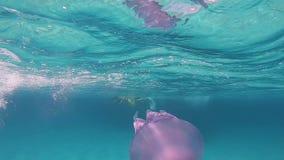 Una mujer hermosa joven filmada en nadadas subacuáticas de la cámara lenta en un azul transparente con un pulmo de Rhizostoma, co metrajes