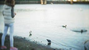 Una mujer joven que alimenta en el pájaro de los cisnes y de los patos de un lago que alimenta en invierno almacen de video