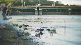 Una mujer joven que alimenta en el pájaro de los cisnes y de los patos de un lago que alimenta en invierno metrajes