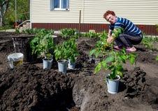 Una mujer mayor que planta los tomates en la tierra abierta Fotos de archivo libres de regalías