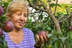 Una mujer mayor sonriente que cosecha manzanas de un árbol imagenes de archivo