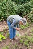 Una mujer mayor toma la cosecha del eneldo Imágenes de archivo libres de regalías