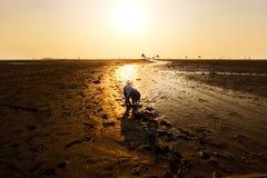 Una mujer no identificada que recoge cáscaras y almejas en la playa en la salida del sol Éste es una de las granjas más grandes d fotografía de archivo libre de regalías