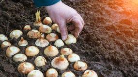 Una mujer pone una cebolla en la tierra, primer, al aire libre imagen de archivo