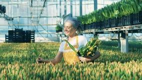 Una mujer pone tulipanes en el cubo negro mientras que trabaja en un invernadero almacen de metraje de vídeo
