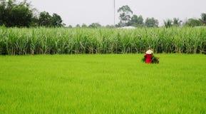 Una mujer que trabaja en campo del arroz en Dong Thap Muoi, Vietnam Fotografía de archivo libre de regalías