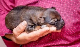 Una mujer sostiene un perrito recién nacido en su mano El cuidar para el animals_ fotografía de archivo libre de regalías