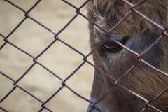Una mula en el establo La mula es el descendiente de un burro del varón (ja Imágenes de archivo libres de regalías