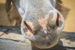 Una mula en el establo La mula es el descendiente de un burro del varón (ja Imagen de archivo