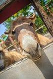 Una mula en el establo La mula es el descendiente de un burro del varón (ja Foto de archivo libre de regalías