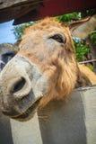 Una mula en el establo La mula es el descendiente de un burro del varón (ja Fotografía de archivo libre de regalías