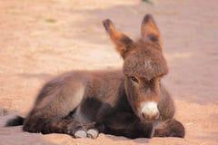 Una mula marrón se está sentando fotografía de archivo libre de regalías