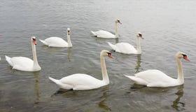 Una multitud de cisnes hermosos se refleja en la superficie tranquila del mar Fondo hermoso sereno que calma fotografía de archivo libre de regalías