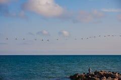 Una multitud de cisnes salvajes en el mar Foto de archivo libre de regalías