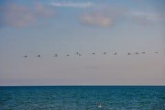 Una multitud de cisnes salvajes en el mar Fotos de archivo