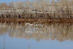 Una multitud de cisnes salvajes salpicó abajo en el río Imagen de archivo libre de regalías