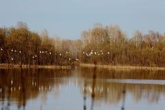Una multitud de cisnes salvajes salpicó abajo en el río Imagenes de archivo