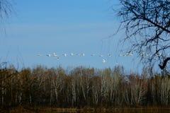 Una multitud de cisnes salvajes salpicó abajo en el río Fotos de archivo libres de regalías