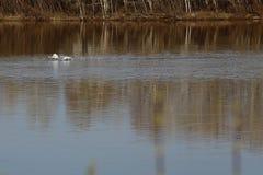 Una multitud de cisnes salvajes salpicó abajo en el río Fotos de archivo