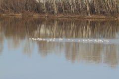Una multitud de cisnes salvajes salpicó abajo en el río Imágenes de archivo libres de regalías