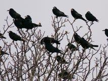 Cuervos Foto de archivo