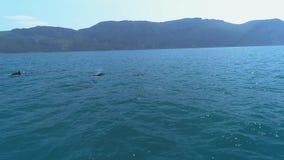 Una multitud de delf?nes salta del agua Delfínes que persiguen los pescados Vacaciones de verano por el mar metrajes