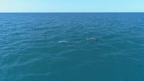 Una multitud de delf?nes salta del agua Delfínes que persiguen los pescados Vacaciones de verano por el mar almacen de metraje de vídeo