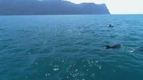 Una multitud de delf?nes salta del agua Delfínes que persiguen los pescados Vacaciones de verano por el mar almacen de video