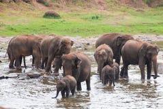 Una multitud de elefantes Imágenes de archivo libres de regalías