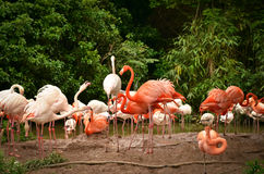 Una multitud de flamencos en el parque zoológico de Shangai Foto de archivo libre de regalías