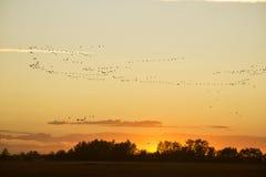 Una multitud de gansos en la puesta del sol Foto de archivo