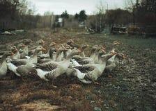 Una multitud de gansos grises Foto de archivo