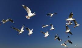 Una multitud de gaviotas Imagen de archivo libre de regalías