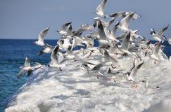 Una multitud de gaviotas se eleva Foto de archivo