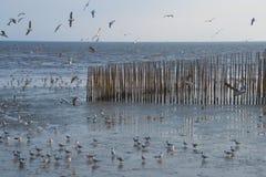 Una multitud de gaviotas tailandesas hermosas, caminando y volando alrededor de una arena de bambú que cerca, en un banco del del imagen de archivo