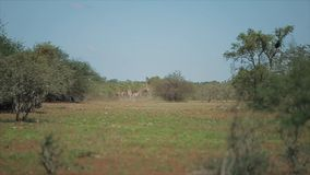 Una multitud de jirafas corre uno tras otro a través del campo en un día soleado en África Animales en naturaleza salvaje metrajes