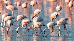 Una multitud de la caminata rosada de los flamencos en el agua Fotos de archivo libres de regalías