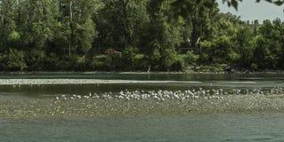 Una multitud de la gaviota en las orillas del río del arco Foto de archivo