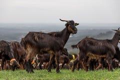 Una multitud de las cabras que pastan en hierba fresca imágenes de archivo libres de regalías