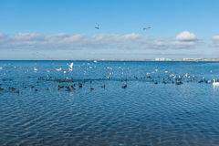 Una multitud de las fochas de los pájaros, o lat de los planos Atra del Fulica y lat de la gaviota de la plata Argentatus del Lar Fotos de archivo
