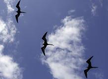 Una multitud de las fragatas de las Islas Galápagos imágenes de archivo libres de regalías