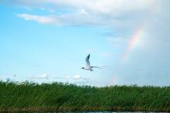 Una multitud de las gaviotas del río vuela sobre la superficie del agua del ` s del lago contra la perspectiva del cielo y de las Foto de archivo