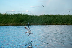 Una multitud de las gaviotas del río vuela sobre la superficie del agua del ` s del lago contra la perspectiva del cielo y de las Fotos de archivo libres de regalías